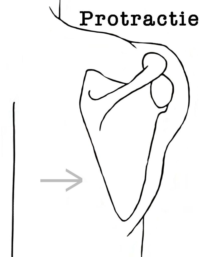 yoga anatomie schouderblad